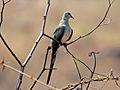 Namaqua Dove female RWD.jpg