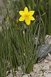 Narcissus.requienii.7104