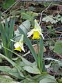 Narcissus early var - Flickr - peganum.jpg