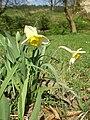 Narcissus poeticus01.jpg