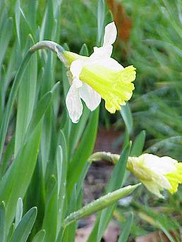 Narcis žlutý (Narcissus pseudonarcissus)