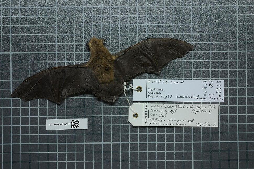 Naturalis Biodiversity Center - RMNH.MAM.25965.b dor - Neoromicia somalicus - skin.jpeg