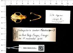 240px naturalis biodiversity center   rmnh.mam.26325.a pal   scotonycteris zenkeri   skull