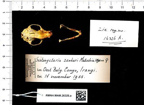 500px naturalis biodiversity center   rmnh.mam.26325.a pal   scotonycteris zenkeri   skull