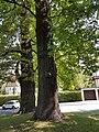 Naturdenkmal Stiel-Eiche (Quercus robur) in der Platnersberganlage 20170825 120425.jpg