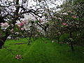 Naturstation Stammheimer Schlosspark hier Apfelbaumblüte Bild 2.JPG
