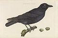 Nederlandsche vogelen (KB) - Corvus corone (223pl).jpg