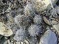 Neolloydia ceratites (5664969837).jpg