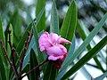 Nerium oleander - Adelfa - Narciso (3) (14300436215).jpg