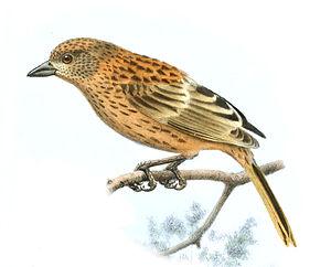 Gough finch - The immature was described as Nesospiza jessiae