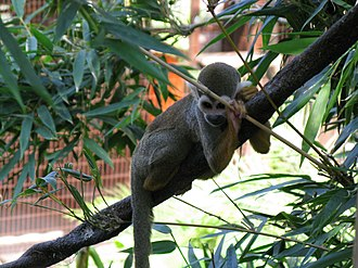 Squirrel monkey - Image: Nice squirrel monkey