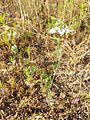 Nigella arvensis sl25.jpg