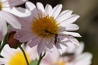 <i>Nippoptilia vitis</i> Species of plume moth