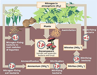 Schematic representation of the flow of Nitrogen through the environment. The importance of bacteria in the cycle is immediately recognized as being a key element in the cycle, providing different forms of nitrogen compounds assimilable by higher organisms. See Martinus Beijerinck.