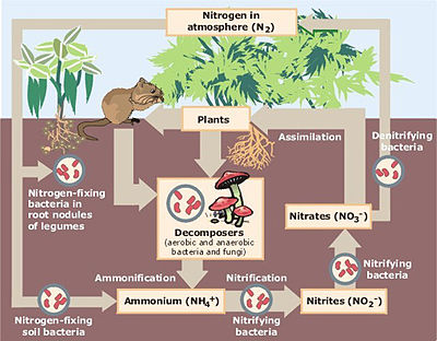 Phosphorus Cycle Diagram. [edit] Nitrogen cycle