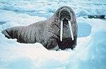 Noaa-walrus30.jpg