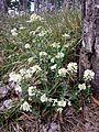 Noccaea goesingensis sl18.jpg
