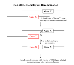Copy-number variation - Diagrammatic representation of non-allelic homologous recombination. Here, Gene X represents the gene of interest and the black line represents the chromosome. When the two homologous chromosomes are misaligned and recombination occurs, it may result in a duplication of the gene.