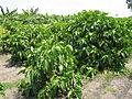 Noni (Morinda citrifolia) plantation.JPG