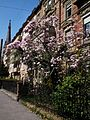 Nordbaden Tulpen-Magnolie März 2012.JPG