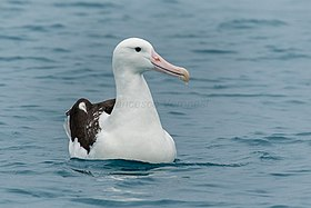 Northern Royal Albatross - Kaikorua - New Zealand (39039196692).jpg