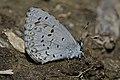 Northern Spring Azure (Celastrina lucia) - Mississauga, Ontario 2015-05-14 (02).jpg