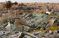 Northern Wheatear From The Crossley ID Guide Eastern Birds.jpg