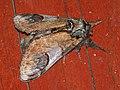 Notodonta ziczac - Pebble prominent - Хохлатка зигзаг (41095238732).jpg
