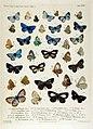 NovaraExpZoologischeTheilLepidopteraAtlasTaf35.jpg