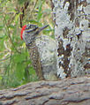 Nubian Woodpecker.jpg