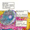 Nucleus Nucleolus and chromatin of animal cell.png