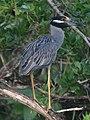 Nyctanassa violacea Guaco manglero Yellow-crowned Night-Heron (14925699153).jpg