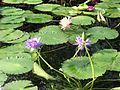 Nymphaeales - Nymphaea sp. 1.jpg
