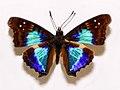 Nymphalidae - Doxocopa cyane.JPG