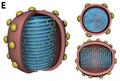 ODD.Ovali.Fig1 WEB Sulfolobus ellipsoid virus 1 (E) 3D-Schema.png