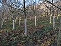 Oak re-planting near Longframlington - geograph.org.uk - 1123294.jpg