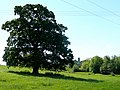 Oak tree - geograph.org.uk - 1325682.jpg