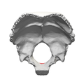 Occipital bone Basion05.png