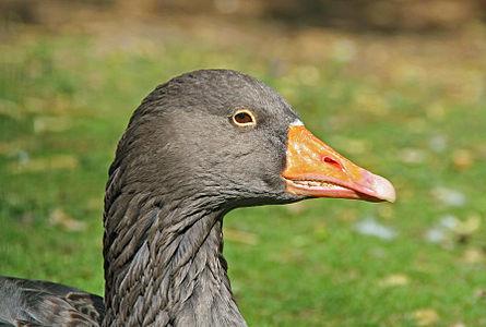 Portrait of a Greylag Goose, France