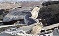 Oiseau marin au repos (Au pied du Rocher percé) - panoramio.jpg