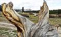Old Wood, Tuolumne Meadows, Yosemite 5-15 (21453481269).jpg