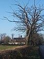 Old oak trees by Yaxley Road - geograph.org.uk - 1082983.jpg