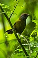 Olive Finch - Colombia S4E3362 (23283455182).jpg