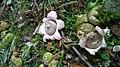 Open and Opening Exoperidium of Earthstar Mushrooms (Geastrum saccatum).jpg
