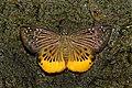 Open wing position of Mooreana trichoneura Felder & Felder, 1860 – Yellow Flat WLB DSC 4043.jpg