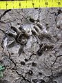 Opossum and vole tracks in mud.JPG