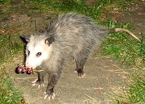 "Virginia opossum - The opposable ""thumb"" on the back foot"