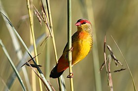 Orange breasted waxbill, Amandava subflava, at Suikerbosrand Nature Reserve, Gauteng, South Africa (25278913494).jpg