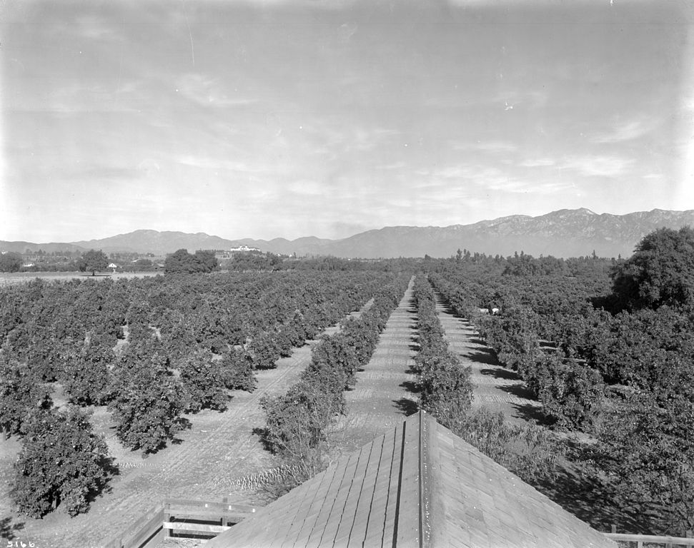 File Orange Orchard In South Pasadena Near Alhambra Ca