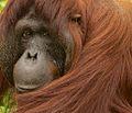 Orangutan V (13945308462).jpg